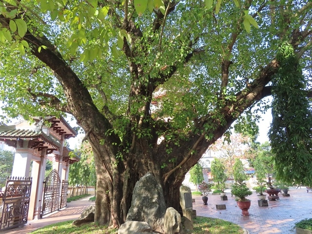 Bodhi Tree - A descendant of the Bodhi tree where Buddha was enlightened